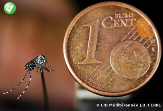 moustique tigre piece 1 centime1